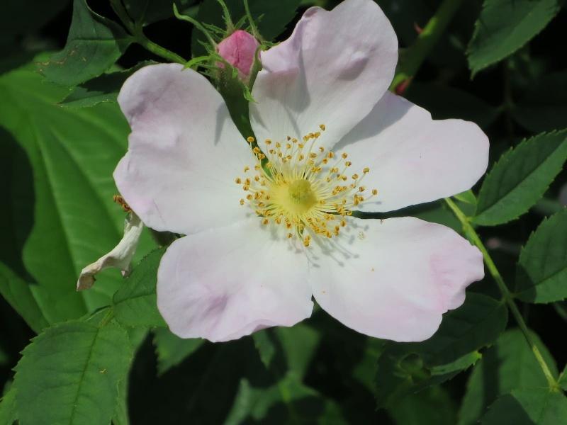 Märchen Erleben Der Duft Der Rose Die Kraft Der Liebe Spüren
